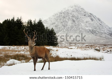 Scottish Red Deer with a snow-capped Buachaille Etive Mor, Glencoe, Scotland in the background - stock photo