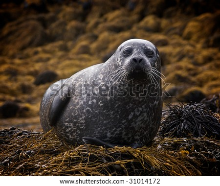 Scottish Seal - stock photo