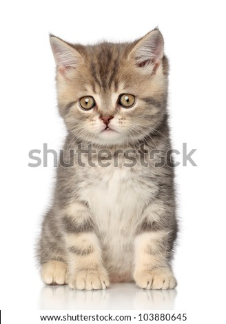 Scottish shorthair kitten (one month) sits on a white background