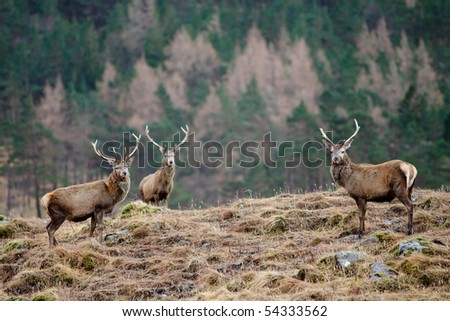Scottish Stag - Scotland - stock photo