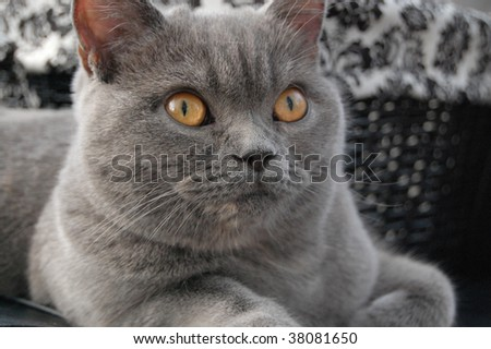 Scottish straight cat - stock photo