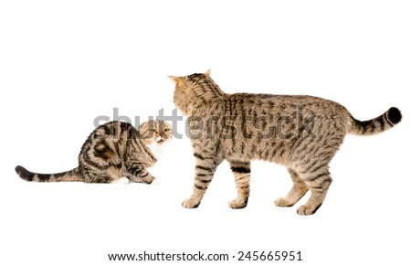 Scottish Straight cat attacks Scottish Fold cat isolated on white background - stock photo