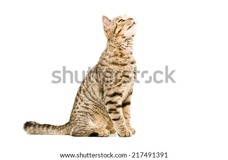 Scottish Straight cat sniffs looking up isolated on white background - stock photo