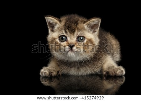 Scottish Straight Kitten Lying and Curious Looking Forward Isolated on Black Background - stock photo