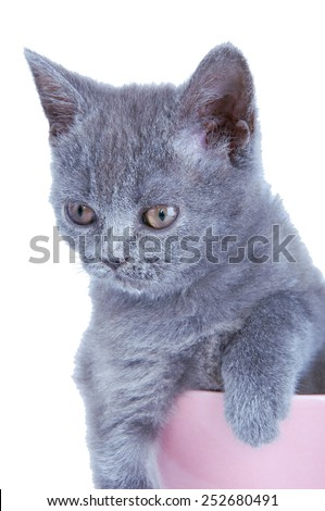 Scottish straight kitten sitting in pink bowl isolated on white