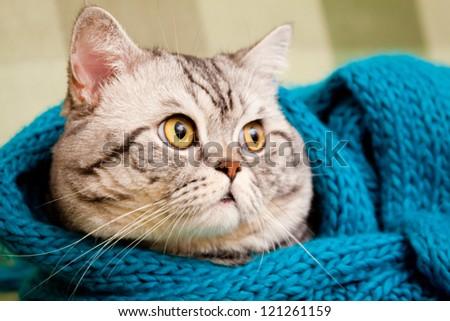 Scottish straight shorthair cat - stock photo