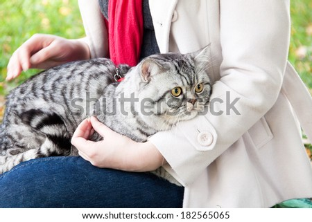 Scottish straight shorthair cat sitting on the hands of young woman