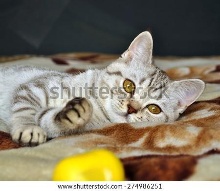 Scottish tabby cat breed lying on blanket - stock photo