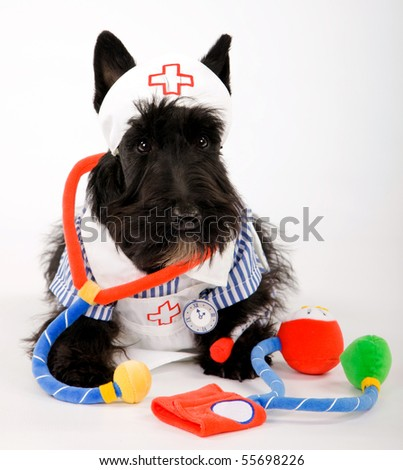 Scottish Terrier in nursing outfit - stock photo