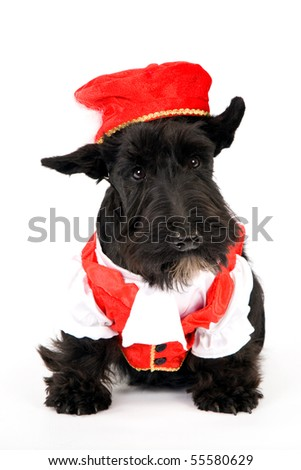 Scottish Terrier in red and white outfit on white background - stock photo