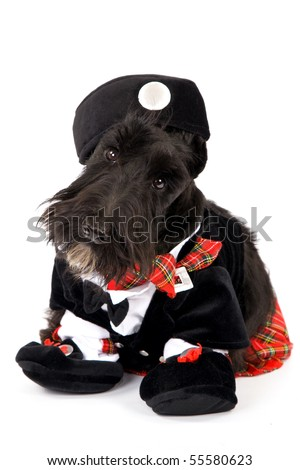 Scottish Terrier in Scottish outfit on white background - stock photo