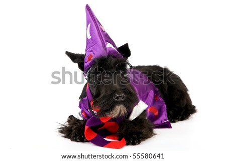 Scottish Terrier in wizard outfit on white background - stock photo