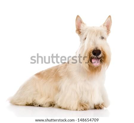 Scottish Terrier isolated on white background  - stock photo
