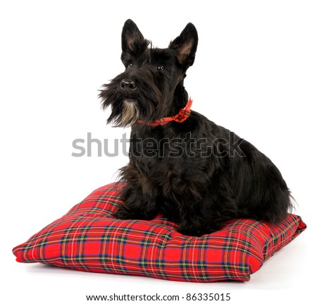 Scottish Terrier on tartan cushion on white background - stock photo
