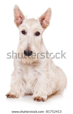 Scottish Terrier on white background - stock photo
