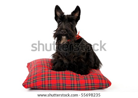 Scottish Terrier with bow on tartan pillow on white background - stock photo