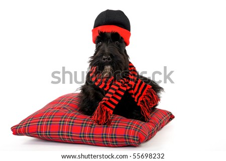 Scottish Terrier with hat on tartan pillow on white background - stock photo