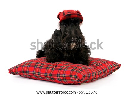 Scottish Terrier with red hat sitting on tartan pillow, on white background - stock photo