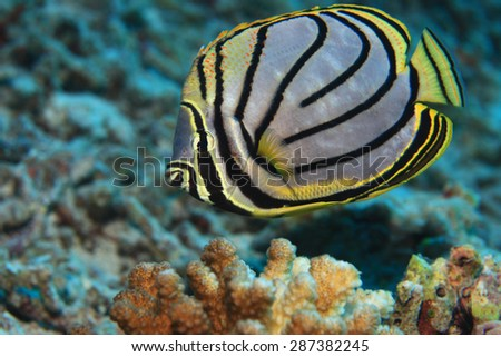 Scrawled butterflyfish (Chaetodon meyeri) in the tropical coral reef  - stock photo