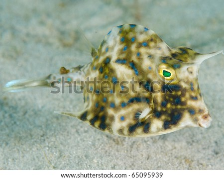 Scrawled Cowfish-Acanthostracion quadricornis, picture taken in Palm Beach County Florida. - stock photo