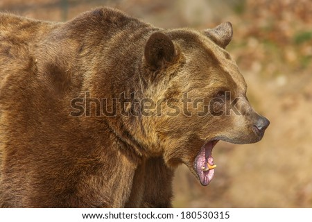 screaming brown bear - stock photo