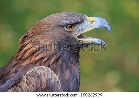 screaming golden eagle - stock photo