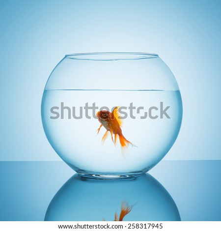 screaming goldfish in a fishbowl - stock photo