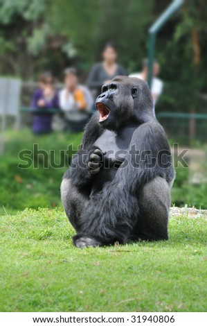 Screaming Gorilla Male in Zoo, observed by the visitors - stock photo