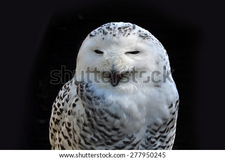 Screaming owl, bird closeup. - stock photo