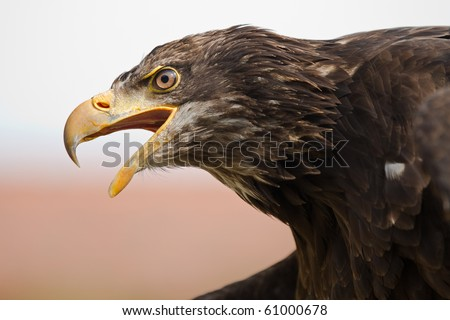 Screaming Sea Eagle - stock photo