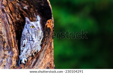 Screech owl in deep thoughs - stock photo