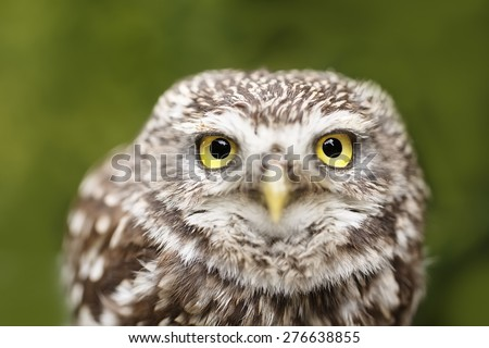 screech-owl with green background - stock photo