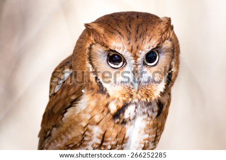 Screeching Owl - stock photo