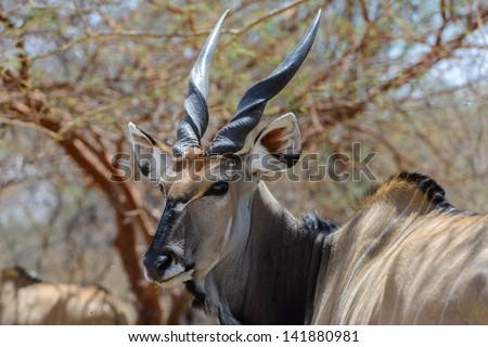 Screwhorn antelope - stock photo
