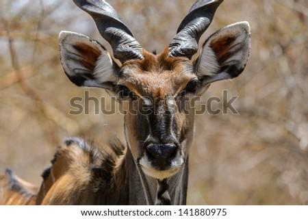 Screwhorn antelope close up, Senegal - stock photo