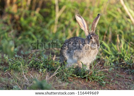 Scrub Hare eating grass - stock photo