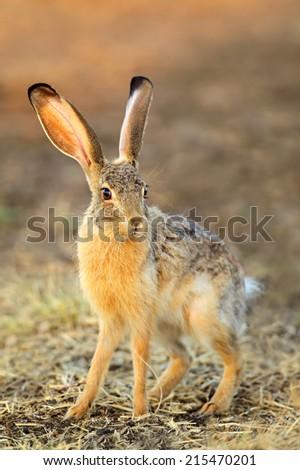Scrub hare (Lepus saxatilis) in natural habitat, South Africa - stock photo