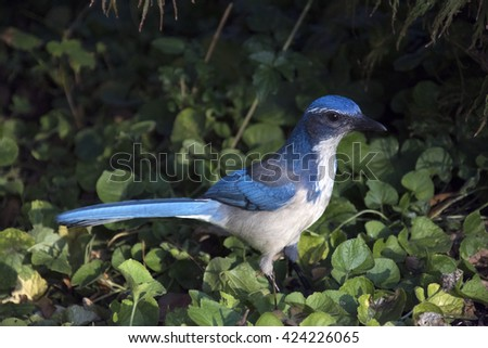 Scrub jay standing in greenery against a shadowy background - stock photo