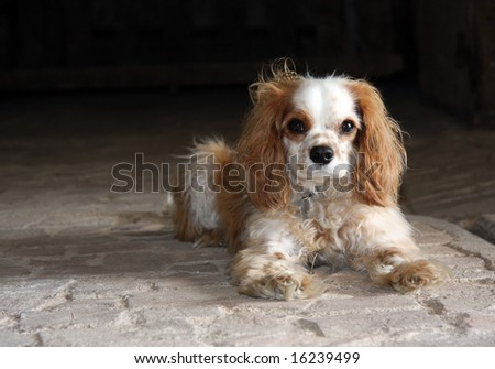 Scruffy but very cute Cavalier King Charles spaniel poses for the camera - stock photo