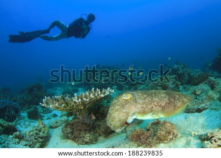 Scuba Diver and Cuttlefish - stock photo