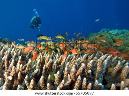 Scuba Diver and school of Fish - stock photo
