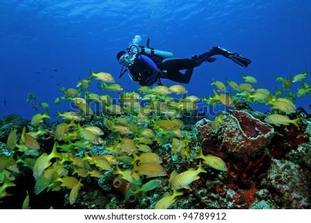 Scuba Diver and School of French Grunts (Haemulon flavolineatum) - Cozumel, Mexico - stock photo
