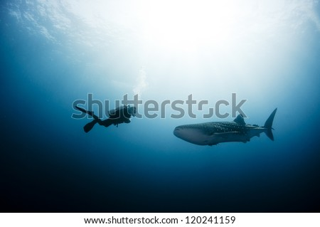 scuba diver approaches a whale shark - stock photo