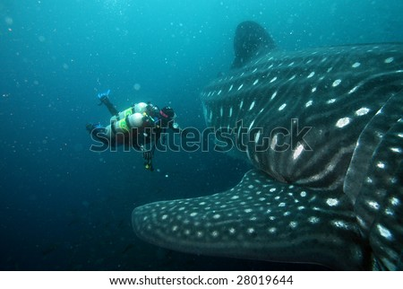 scuba diver approaching whale shark in galapagos islands waters - stock photo