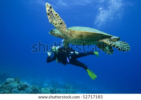 Scuba Diver attains her dream of swimming with a wild Turtle - stock photo