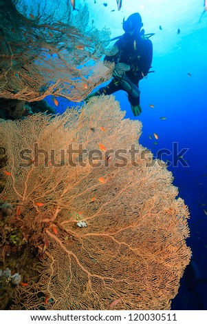 SCUBA diver exploring a large Gorgonian fan coral on a deep reef wall - stock photo
