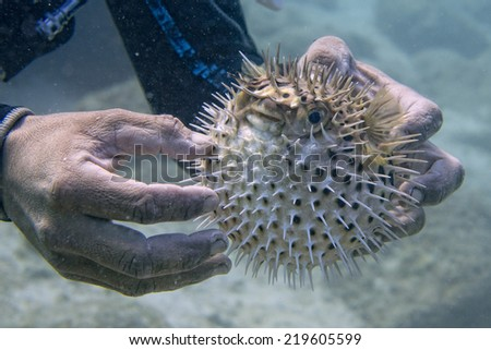 Scuba diver holding an Inflated porcupine puffer ball fish - stock photo