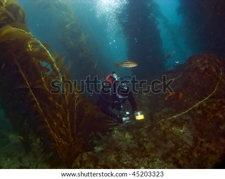 Scuba Diver in Catalina with mating Garibaldi on the rocks - stock photo
