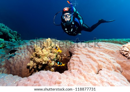 SCUBA diver next to a hard coral containing a pair of anemone fish - stock photo