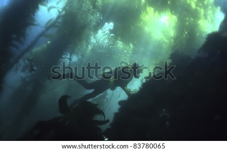 Scuba Diver Swimming in California Kelp Forest